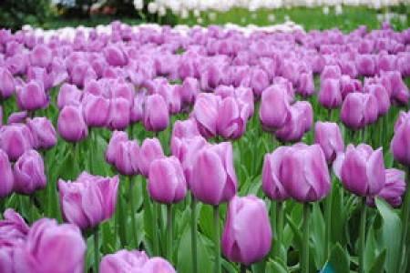 Тюльпан Алиби