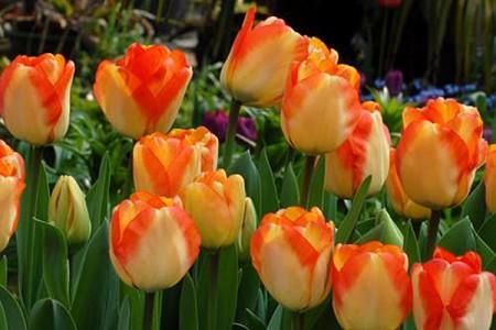 Тюльпан Американ Дрим