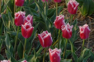 Тюльпан Бел Сонг