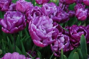 Тюльпан Блу Даймонд