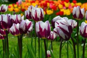 Тюльпан Фламинг Флаг