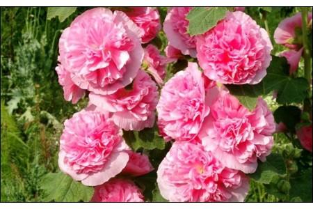 Шток-роза Розеа