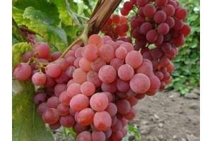 Виноград Ярушка